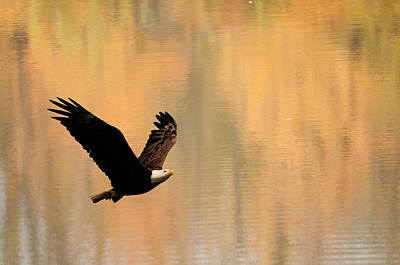 Nirvana - Eagle with autumn reflection by Randall Branham