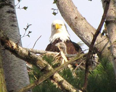 American Eagle Photograph - Eaglet Looking Out With Mother Bald Eagle by Mitch Spillane