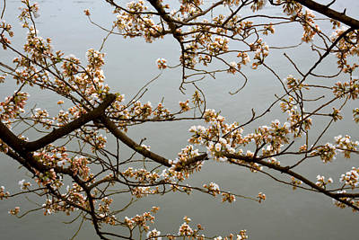 Photograph - Early Cherry Blossoms by Van Corey