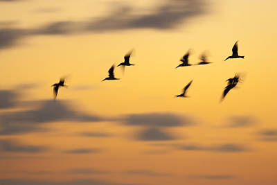 Photograph - Early Flight by Nick  Shirghio