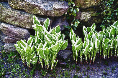 Photograph - Early Hosta by Ross Powell