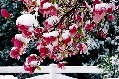 Photograph - Early Magnolia Late Snow by Byron Varvarigos