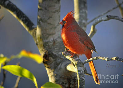 Art Print featuring the photograph Early Morning Cardinal by Nava Thompson