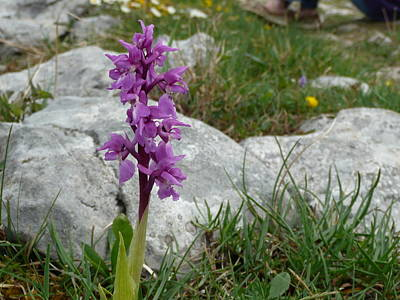 Art Print featuring the photograph Early Purple Orchid by Rob Hemphill