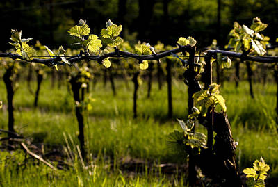 Pinot Noir Photograph - Early Spring by Jean Noren