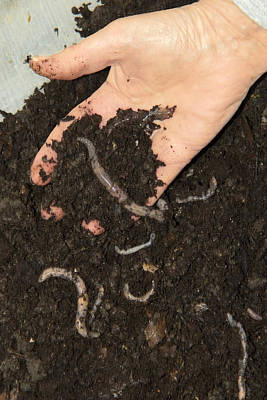 Human Worms Photograph - Earthworms In Soil by Sheila Terry