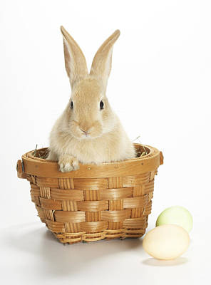 Photograph - Easter Bunny In Basket by American Images Inc