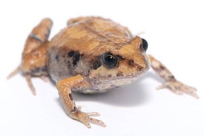 Eastern Banjo Frog Isolated On White Art Print