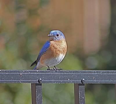 Photograph - Eastern Bluebird On Fence by Jeanne Kay Juhos
