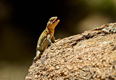 Photograph - Eastern Collared Lizard In Camo by Royce  Gideon
