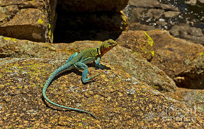 Photograph - Eastern Collared Lizard In Turquoise  by Royce  Gideon