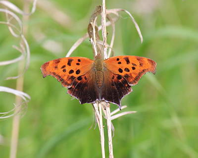 Art Print featuring the photograph Eastern Comma Butterfly by Penny Meyers