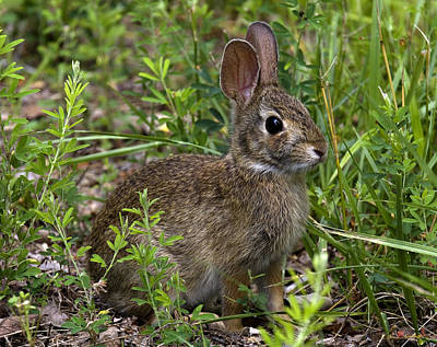 Photograph - Eastern Cottontail Rabbit Dmam005 by Gerry Gantt
