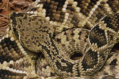 Photograph - Eastern Diamondback Rattlesnake by Gerry Ellis