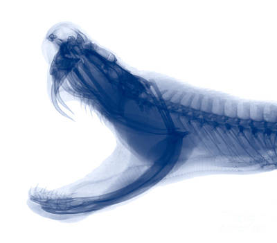 Photograph - Eastern Diamondback Rattlesnake, X-ray by Ted Kinsman