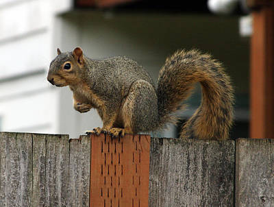 Photograph - Eastern Gray Squirrel - 0002 by S and S Photo