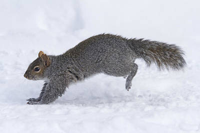 Eastern Grey Squirrel Photograph - Eastern Gray Squirrel Running by Philippe Henry
