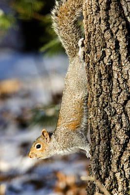 Eastern Gray Squirrel Sciurus Art Print by Tim Laman