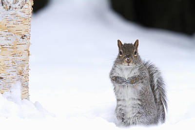 Eastern Grey Squirrel Photograph - Eastern Gray Squirrel Standing by Philippe Henry