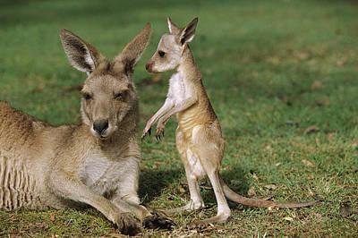 Photograph - Eastern Grey Kangaroo And Joey by Cyril Ruoso