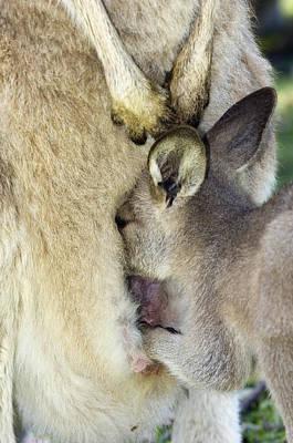 Eastern Grey Kangaroo Joey Print by Tony Camacho