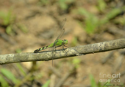 Photograph - Eastern Pondhawk Dragonfly Male 2 by Donna Brown