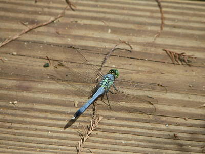 Photograph - Eastern Pondhawk by Peggy King