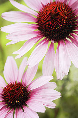 Eastern Purple Cone Flowers Art Print by Dhmig Photography