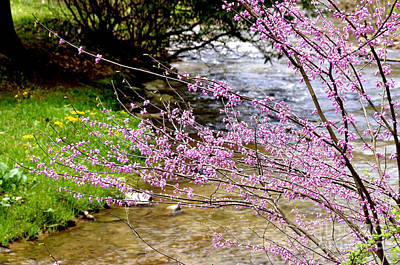 Cercis Canadensis Photograph - Eastern Redbud Anthony Creek by Thomas R Fletcher