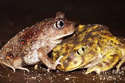 Photograph - Eastern Spadefoot Toads by Lynda Dawson-Youngclaus