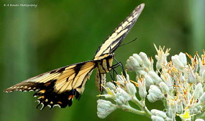 Photograph - Eastern Swallowtail Butterfly by Barbara Bowen