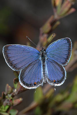 Photograph - Eastern Tailed Blue Butterfly by Daniel Reed
