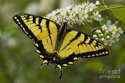 Chokecherry Photograph - Eastern Tiger Swallowtail - Papilio Glaucus by Megan Noble
