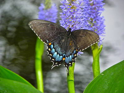 Photograph - Eastern Tiger Swallowtail Butterfly by Eve Spring