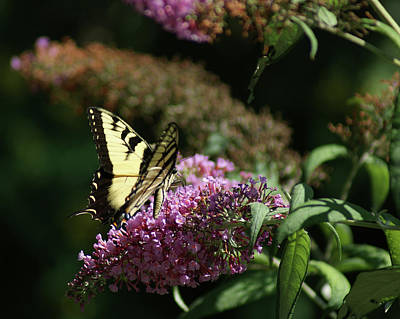Photograph - Eastern Tiger Swallowtail Butterfly by Margie Avellino