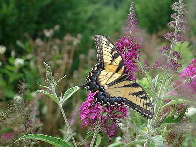 Photograph - Eastern Tiger Swallowtail by Richard Reeve