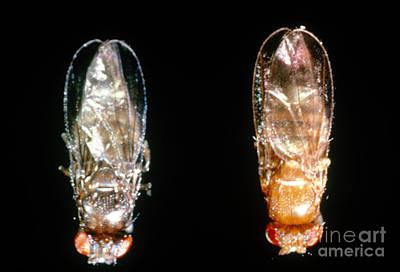 Ebony & Wild Drosophila Print by Science Source