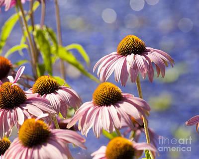 Photograph - Echinacea by Chris Dutton