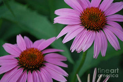 Photograph - Echinacea Cone Flowers by First Star Art