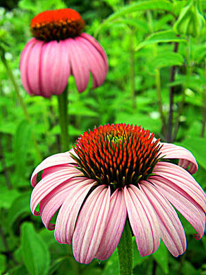 Photograph - Echinacea Duo by Mark J Seefeldt