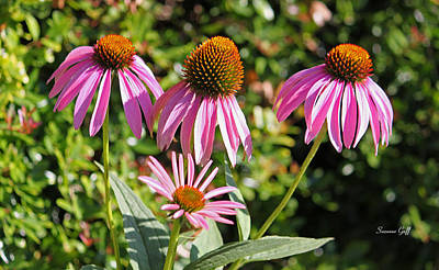 Echinacea In A Row Art Print by Suzanne Gaff