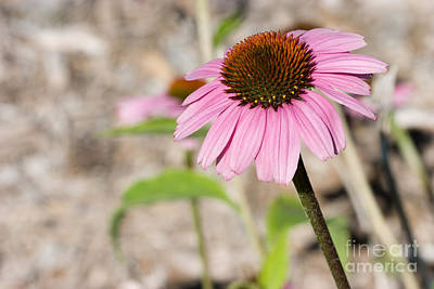 Photograph - Echinacea Purple Cone Flower by Cindy Singleton