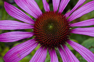Photograph - Echinacea by Rob Hemphill