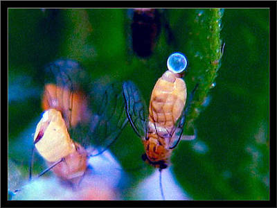 Photograph - Egglaying Aphids by Glenn Bautista