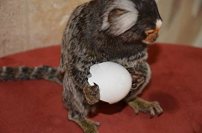 Eggs  Chewy The Marmoset Print by Barry R Jones Jr