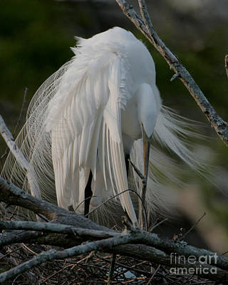 Art Print featuring the photograph Egret - Mother And Eggs  by Luana K Perez