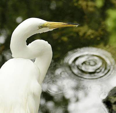 Photograph - Egret 1 by Kirk Stanley