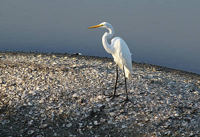 Photograph - Egret At Huntington by Sandi Blood