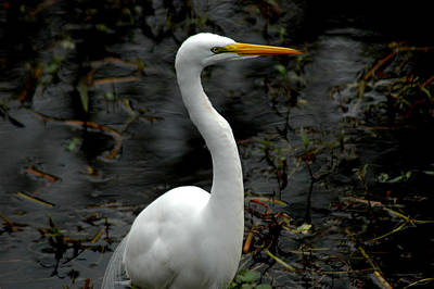 Photograph - Egret by David Weeks