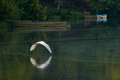 Photograph - Egret Flying Over Lake by Lori Coleman